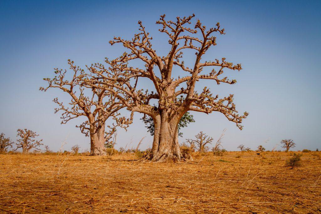 Massive baobab trees