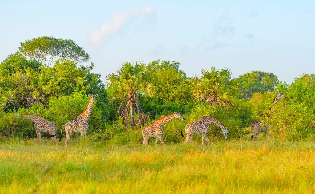 giraffes-in-safari-park-in-tanzania